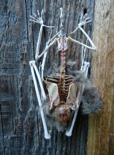 Found this bat skeleton clinging to a barn door.