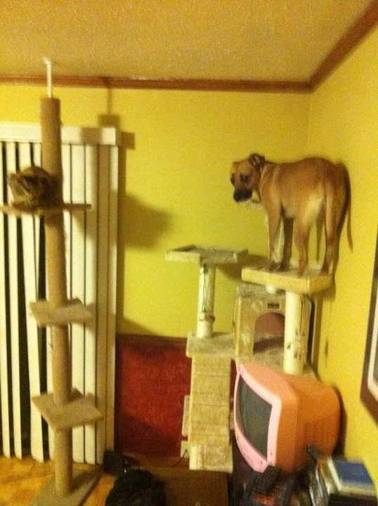 My dog really wants to play with my cat. So she summons her mountain goat skills.