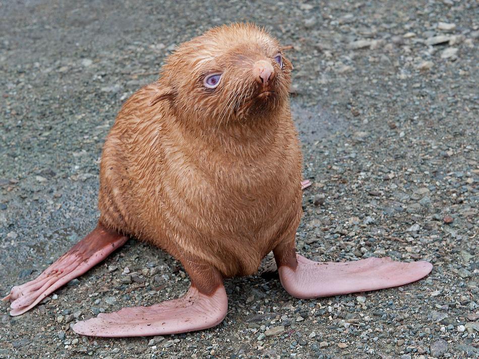 Rare Ginger Seal