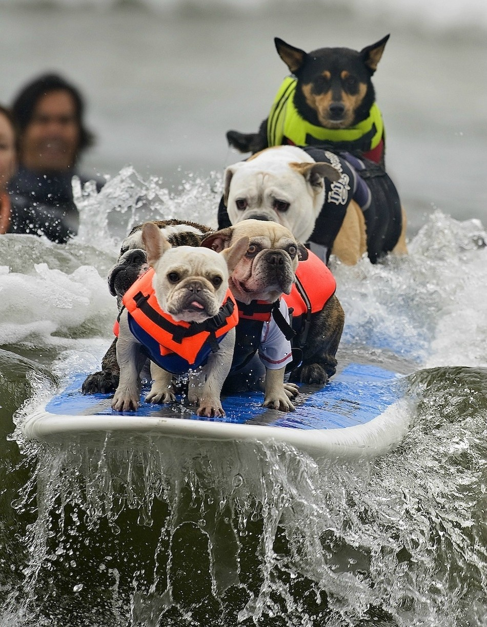 The Best Picture From The 2011 Surfing Dog Competition